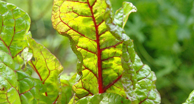 Benefits of Chard