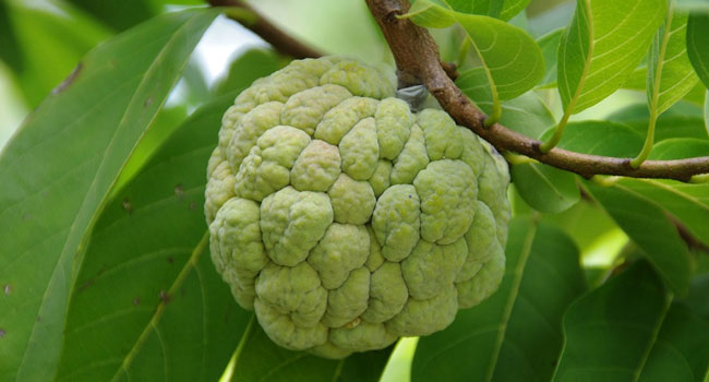 Custard Apple Tree Information In Hindi
