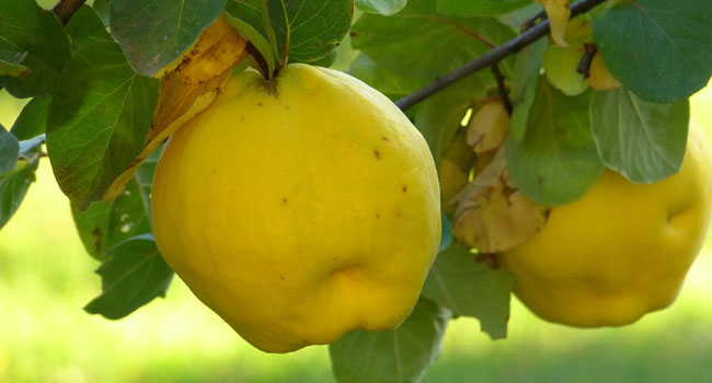 Benefits of Quince